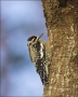 Florida;Yellow-bellied-Sapsucker;Sphyrapicus-varius;one-animal;close-up;color-im