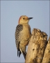 Florida;Southeast-USA;Everglades;Red-bellied-Woodpecker;Melanerpes-carolinus;one