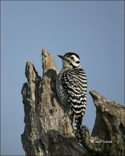 Ladder-backed Woodpecker;Woodpecker;Texas;Southwest USA;Picoides scalaris;one animal;close-up;color image;nobody;photography;day;outdoors. Wildlife;birds;animals in the wild