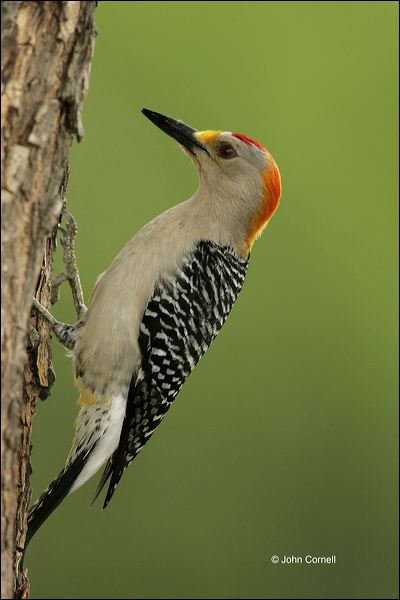 Golden-fronted Woodpecker;Woodpecker;Southwest USA;Texas;Male;Melanerpes aurifrons;one animal;close-up;color image;nobody;photography;day;outdoors. Wildlife;birds;animals in the wild