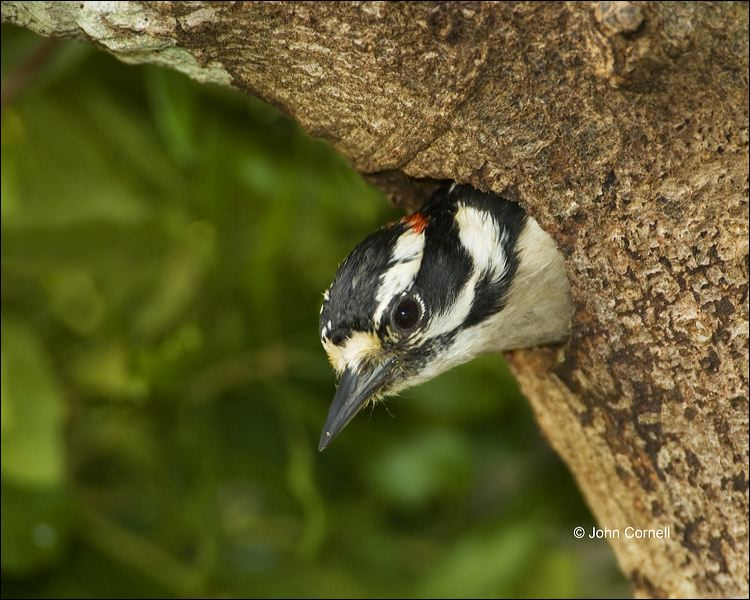 Downy Woodpecker;Woodpecker;Nest Hole;Florida;Southeast USA;Picoides pubescens;one animal;close-up;color image;nobody;photography;day;birds;animals in the wild;outdoors;Wildlife;Close up;close up