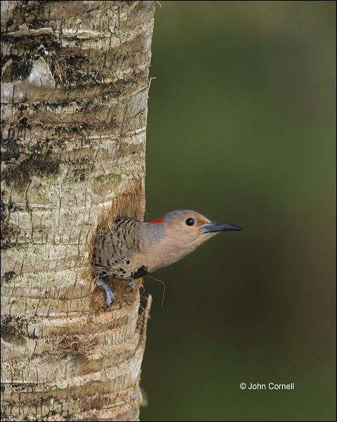 Northern Flicker;Flicker;Nest Hole;Female;Florida;Southeast USA;Colaptes auratus;one animal;close-up;color image;nobody;photography;day;outdoors. Wildlife;birds;animals in the wild