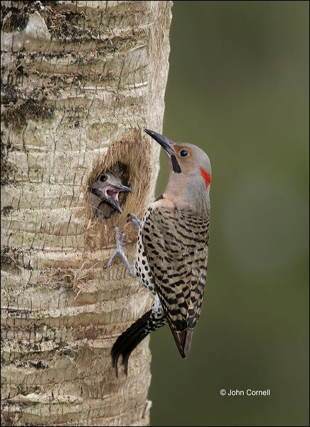 Northern Flicker;Flicker;Nest Hole;Male;Florida;Southeast USA;Colaptes auratus;one animal;close-up;color image;nobody;photography;day;outdoors. Wildlife;birds;animals in the wild