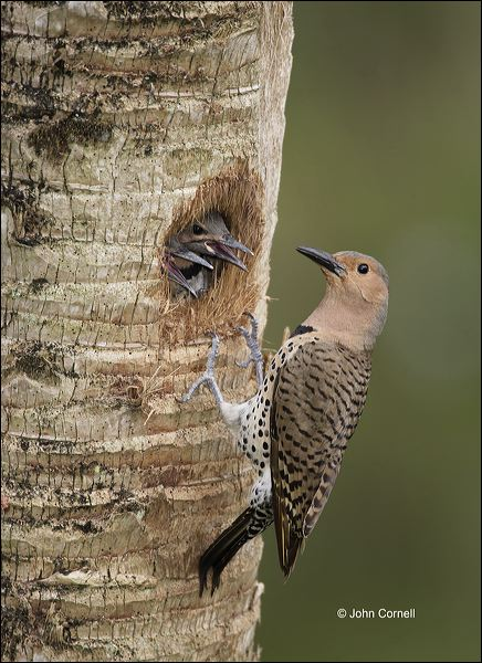 Northern Flicker;Flicker;Nest Hole;Chick;Florida;Southeast USA;Female;Colaptes auratus;one animal;close-up;color image;nobody;photography;day;outdoors. Wildlife;birds;animals in the wild