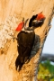 Woodpecker;Dryocopus-pileatus;Pileated-Woodpecker;Pair-of-Birds;aerie;eyrie;home