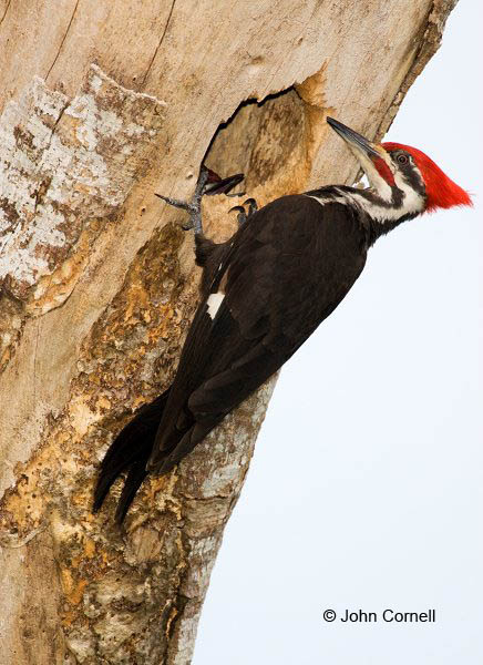 Woodpecker;Dryocopus pileatus;Pileated Woodpecker;One;one animal;avifauna;bird;birds;feather;feathered;outdoors;outside;untamed;wild;color;color photograph;daytime;close up;color image;photography;animals in the wild;feathers;wilderness;perch;perching;watching;watchful;Close up