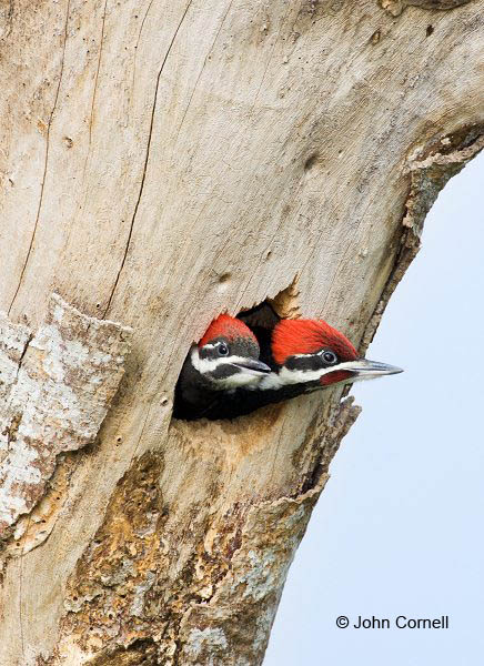 Woodpecker;Dryocopus pileatus;Pileated Woodpecker;two animals;avifauna;bird;birds;feather;feathered;outdoors;outside;untamed;wild;color;color photograph;daytime;close up;color image;photography;animals in the wild;feathers;wilderness;perch;perching;watching;watchful;Juvenile;Chicks;Close up;Two animals