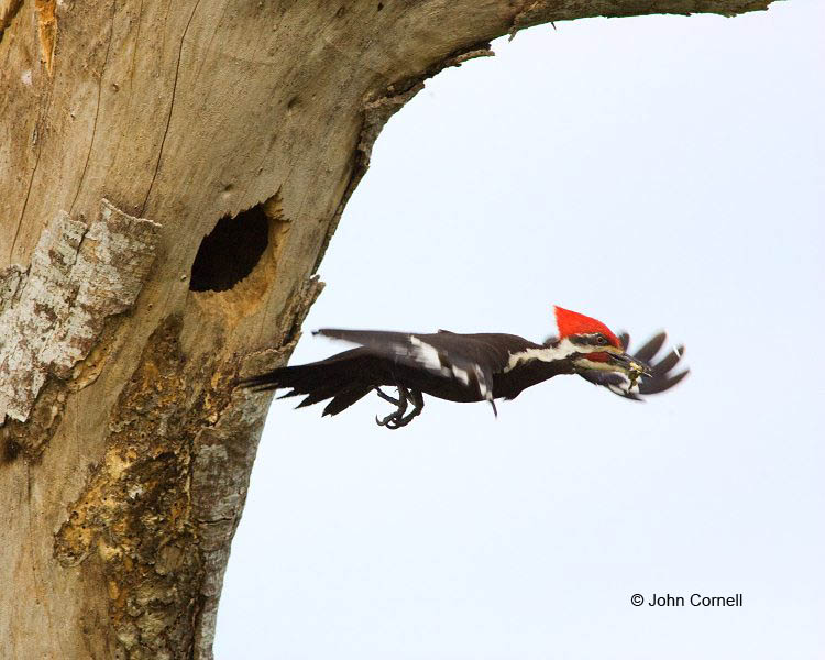 Woodpecker;Dryocopus pileatus;Pileated Woodpecker;Flying bird;action;aloft;behavior;flight;fly;flying;soar;wing;winged;wings;one animal;Color Image;Photography;Birds;Animals in the Wild;Flight;Action;Active;in flight;motion;movement;soaring;Nest;Nesting;Nest Hole;Breeding Plumage