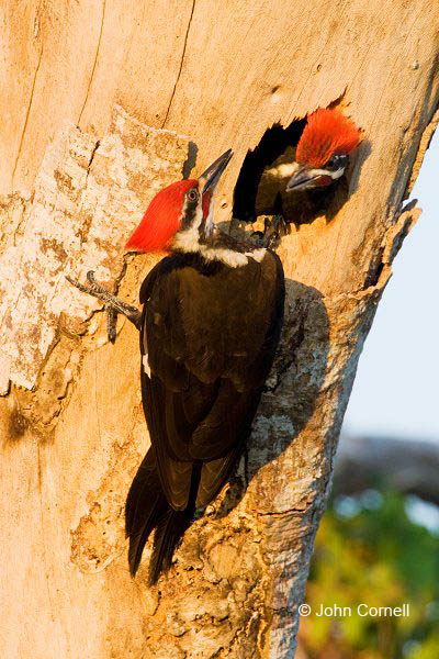 Woodpecker;Dryocopus pileatus;Pileated Woodpecker;Pair of Birds;aerie;eyrie;home;nest;nesting;Bonding;Breeding Behavior;partner;partners;relationship;avifauna;birds;feather;feathered;feathers;nature;natural;outdoors;wild;wilderness;wildlife;Pair;parteners