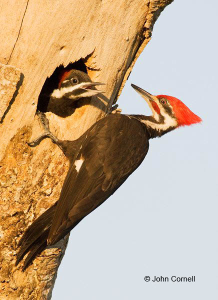 Woodpecker;Dryocopus pileatus;portrait;Two animals;close-up;color image;photography;day;birds;animals in the wild;avifauna;eye;nature;wild;wilderness;looking;perching;perched;watch;watchful;feeding behavior;nobody;feeding;prey;Nest;Nesting;Chick;Pileated Woodpecker;Pair of Birds;aerie;eyrie;home;nest;nesting;Bonding;Breeding Behavior;partner;partners;relationship;feather;feathered;feathers;natural;outdoors;wildlife;Wildlife;Pair;parteners;two animals