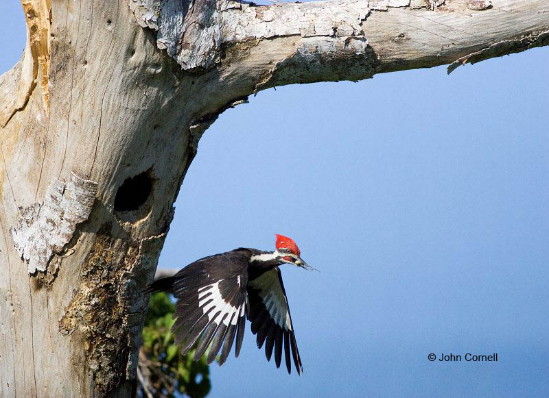 Woodpecker;Dryocopus pileatus;Pileated Woodpecker;Flying bird;action;aloft;behavior;flight;fly;flying;soar;wing;winged;wings;one animal;Color Image;Photography;Birds;Animals in the Wild;Flight;Action;Active;in flight;motion;movement;soaring