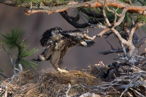 Bald-Eagle;Birds-of-Prey;Eagle;Haliaeetus-leucocephalus;Nest;Oregon;Smith-Rock-S
