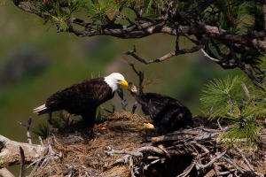 Bald-Eagle;Birds-of-Prey;Eagle;Feeding-Behavior;Haliaeetus-leucocephalus;Nest;Or