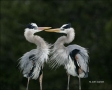 Florida;Great-Blue-Heron;Breeding-Plumage;Breeding-Behavior;close-up;color-image