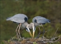 Great-Blue-Heron;Heron;Ardea-herodias;Breeding-Behavior;Nest;Nesting;portrait;Tw