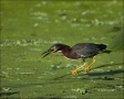 Green-Heron;Heron;one-animal;close-up;color-image;nobody;photography;day;outdoor
