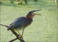 Green-Heron;Heron;Butorides-virescens;one-animal;close-up;color-image;nobody;pho