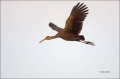 Limpkin;Flight;Aramus-guarauna;Flying-bird;One-animal;Close-up;Color-image;photo
