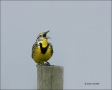 Eastern-Meadowlark;Meadowlark;Sturnella-magna;Singing;one-animal;close-up;color-