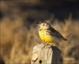 New-Mexico;Southwest-USA;Western-Meadowlark;Meadowlark;Sturnella-neglecta;one-an