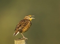 Eastern-Meadowlark;Meadowlark;Sturnella-magna;One;one-animal;avifauna;bird;birds