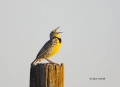 Western-Meadowlark;Meadowlark;Sturnella-neglecta;One;one-animal;avifauna;bird;bi