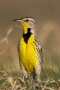 Western-Meadowlark;Meadowlark;Sturnella-neglecta;Breeding-Behavior;Breeding-Plum