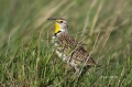 Western-Meadowlark;Meadowlark;Sturnella-neglecta;one-animal;close-up;color-image