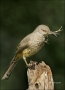 Curve-billed-Thrasher;Thrasher;Texas;Southwest-USA;Toxostoma-curvirostre;Nest-Bu