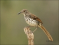 Texas;Southwest-USA;Long-billed-Thrasher;Thrasher;Toxostoma-longirostre;one-anim