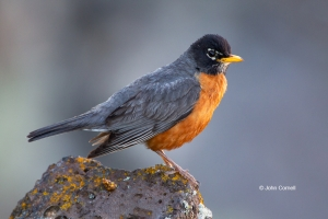 American-Robin;One;Turdus-migratorius;avifauna;bird;birds;color-image;color-phot