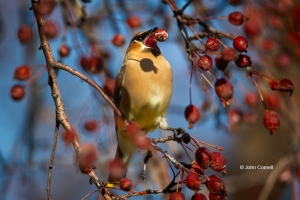 Bombycilla-garrulus;Cedar-Waxwing;One;Waxwing;avifauna;bird;birds;color-image;co