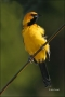 Spot-breasted-Oriole;Oriole;Icterus-pectoralis;one-animal;close-up;color-image;n