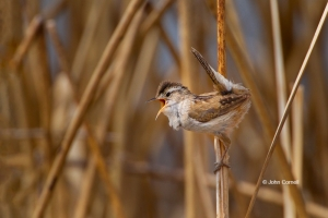 Breeding-Behavior;Breeding-Display;Cistothorus-palustris;Marsh-Wren;Nest-Buildin