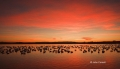 Snow-Goose;Goose;Chen-caerulescens;Scenic;Sunrise;Bosque-del-Apache;Snow-Geese;N