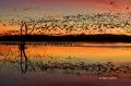 Scenic;Snow-Goose;Goose;Chen-caerulescens;Sunrise;Bosque-del-Apache;Reflection;S