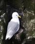 Kittiwake;Black-legged-Kittiwake;Rissa-tridactyla;one-animal;close-up;color-imag