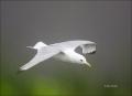 Black-legged-Kittiwake;Kittiwake;Rissa-tridactyla;Black-legged-Kittiwake;flying-