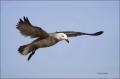 California;Southwest-USA;Heermanns-Gull;Gull;Larus-heermanni;portrait;one-animal