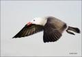 California;Southwest-USA;Heermanns-Gull;Gull;Larus-heermanni;flying-bird;one-ani