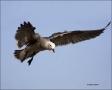 California;Southwest-USA;Heermanns-Gull;Gull;Flight;Larus-heermanni;flying-bird;