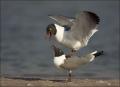 Florida;Southeast-USA;Laughing-Gull;Gull;Larus-atricilla;Breeding-Behavior;Two-A