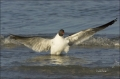 Florida;Southeast-USA;Laughing-Gull;Gull;Flight;Larus-atricilla;one-animal;close