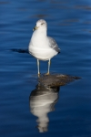 Animals-in-the-Wild;Blue-Water;Gull;Larus-delawarensis;Ring-billed-Gull;Seabird;