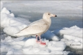 Gull;Japan;Larus-hyperboreus;Glaucous-Gull;One;avifauna;bird;birds;feather;feath