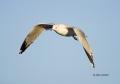 Southwest-USA;Gull;Flight;Ring-billed-Gull;Larus-delawarensis;Flying-bird;One-an