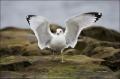 California;Southern;USA;Ring-billed-Gull;Gull;Larus-delawarensis;one-animal;clos