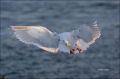 Glaucous-Gull;Larus-hyperboreous;Gulli;portrait;one-animal;close-up;color-image;