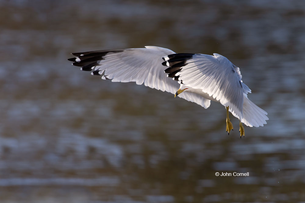 Flying Bird;Gull;Larus delawarensis;Photography;Ring-billed Gull;action;active;aloft;behavior;birds;color image;flight;fly;flying;in flight;motion;movement;one animal;soar;soaring;wing;winged;wings