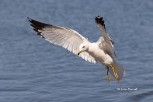 Gull;Larus-delawarensis;Ring-billed-Gull;flight,-action,-active,-aloft,-behavior